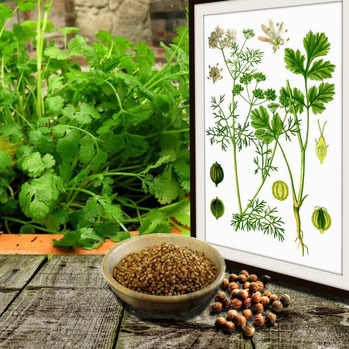 Coriander - A Natural Herb with Different Health Benefits